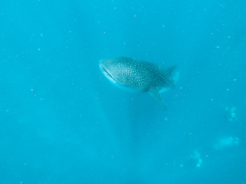 Snorkelen met walvishaaien Malediven