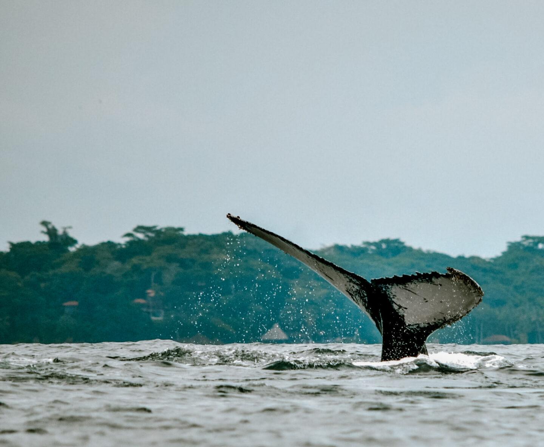 Panama walvissen